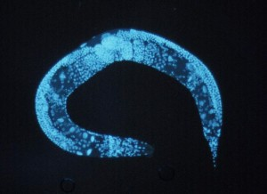 Enlarged_c_elegans